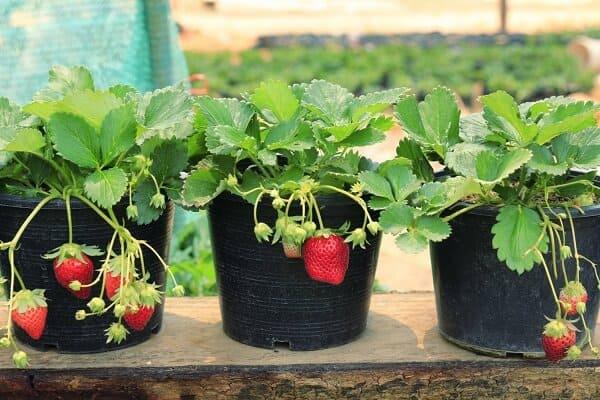 como plantar morango em vaso