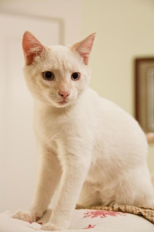 cream point cat siamese