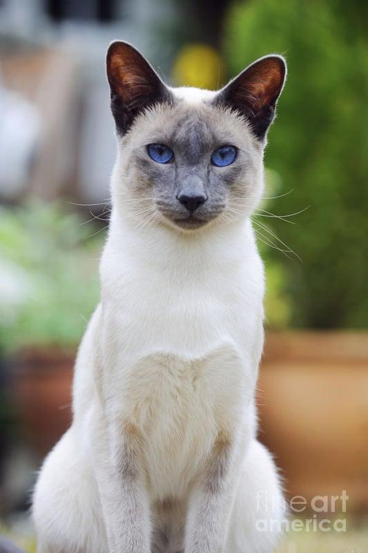 gato blue point