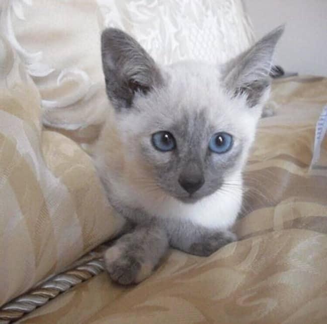 gato lilac siames