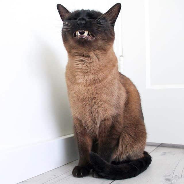 gato siames cola