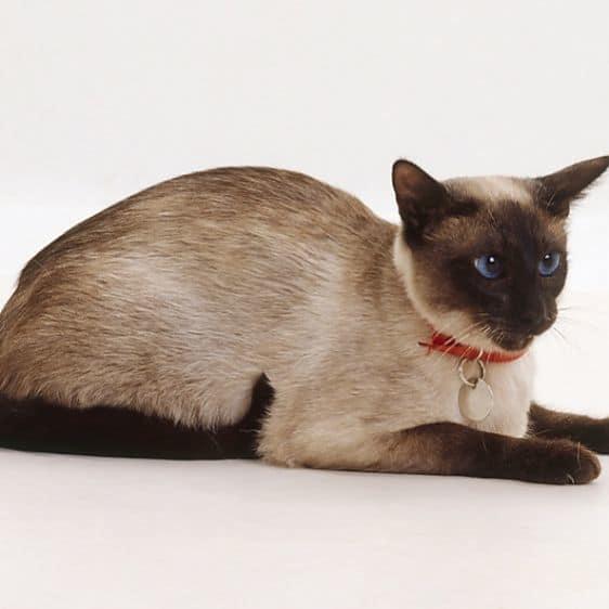 gato siames seal point