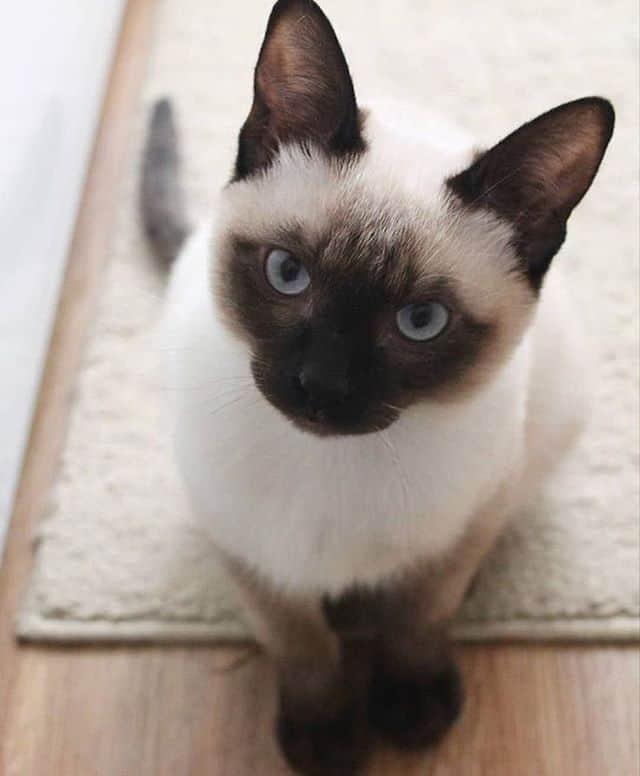 lindo gato siames