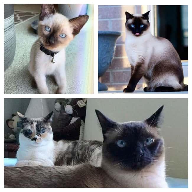 lindos Gatos Siameses