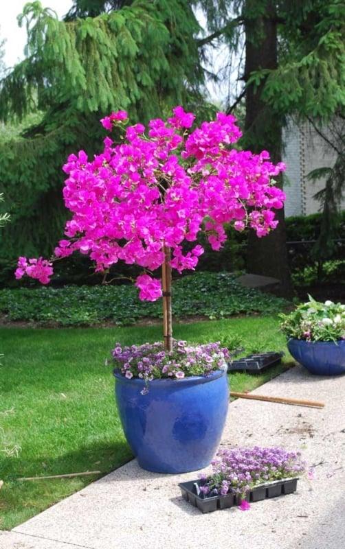 manacá da serra rosa