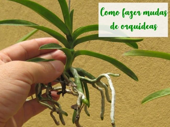 dicas para fazer mudas de orquídeas