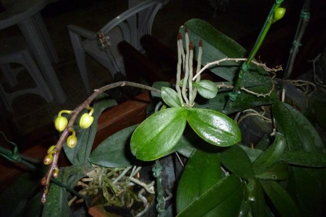 como fazer muda de phalaenopsis