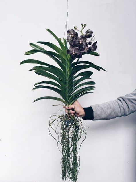 dicas com orquídea vanda
