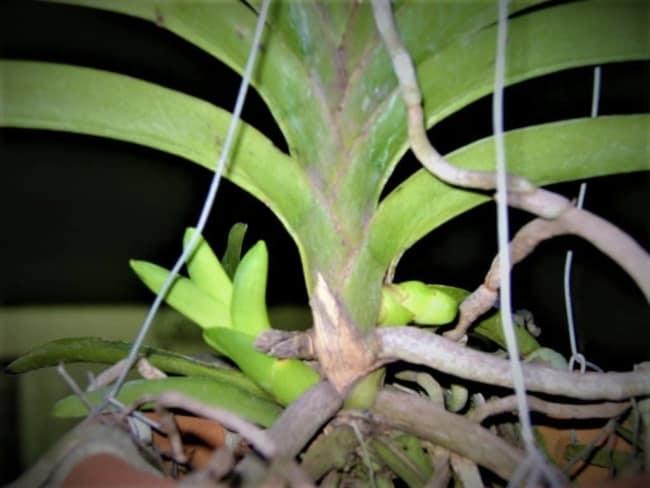 muda de orquídea vanda