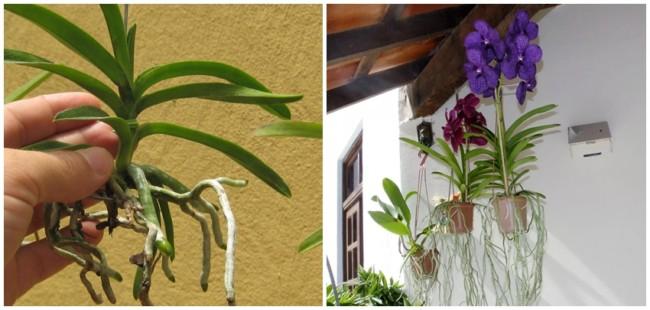como fazer muda de orquídea vanda