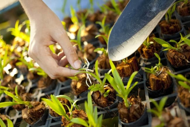 como fazer muda de orquídea pelo caule