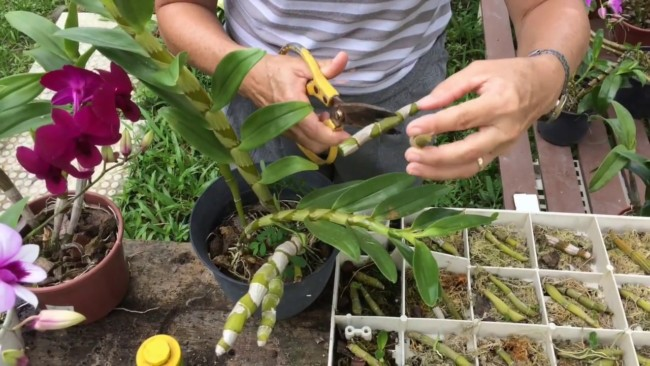 passo a passo para fazer muda de orquídea pelo caule