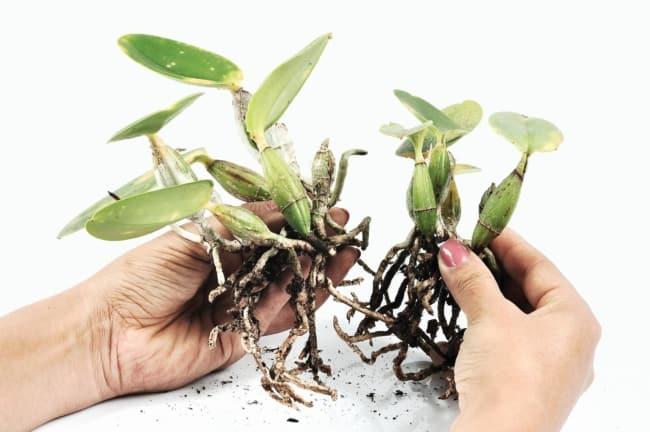 passo a passo para fazer muda de orquídea pelos rizomas