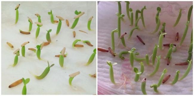 como germinar sementes de rosa do deserto