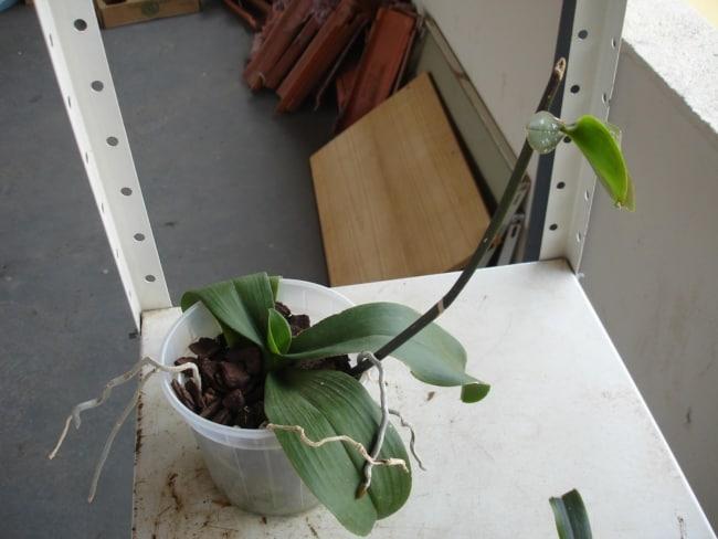 passo a passo para fazer muda de orquídea phalaenopsis