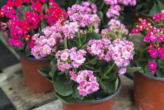 A flor da fortuna é uma planta muito decorativa