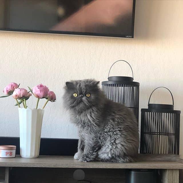 Brutus gato cinza persa