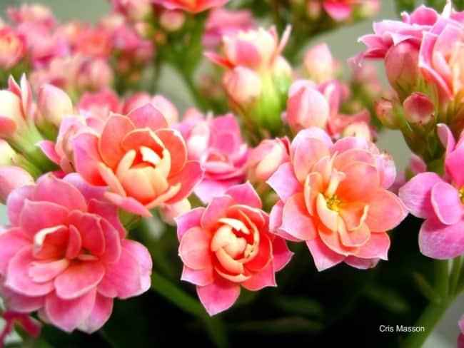 Calandiva é uma planta de sol ou meia sombra