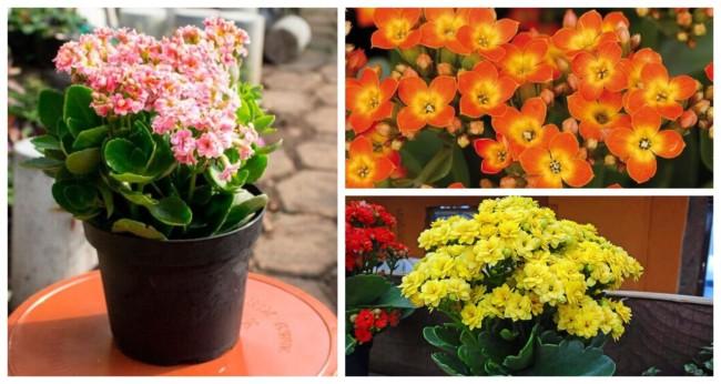 Flor da fortuna Calandiva 2