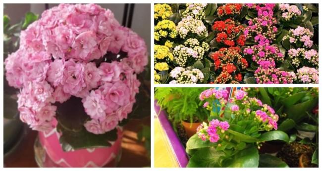 Flor da fortuna Calandiva 3