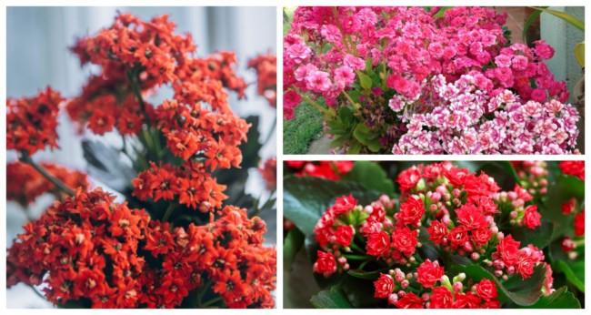 Flor da fortuna Calandiva 4