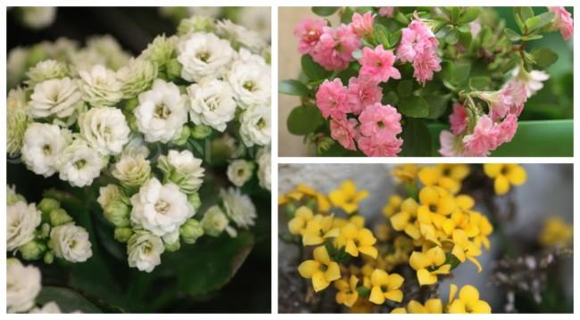 Flor da fortuna Calandiva