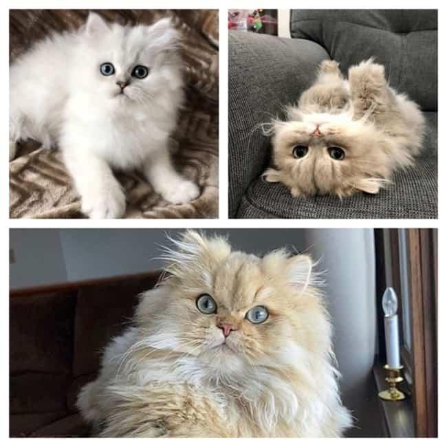 Gatos Persa lindos