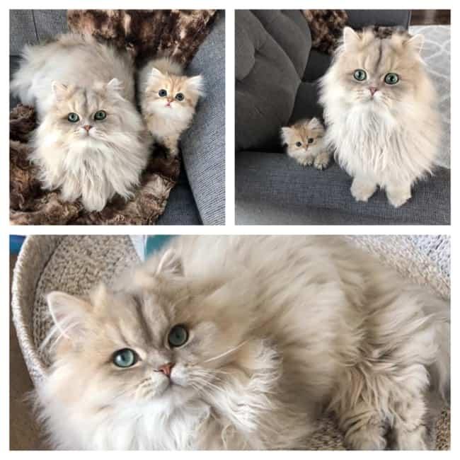 Lindo Gato Persa 5