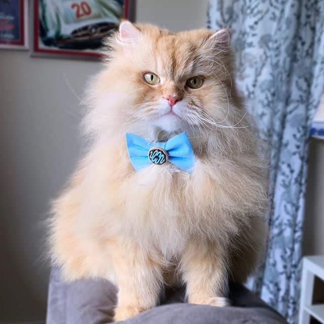 Luigi gato persa