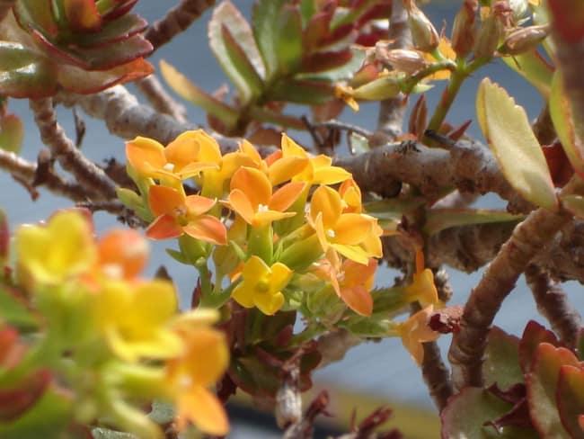 flor-da-fortuna