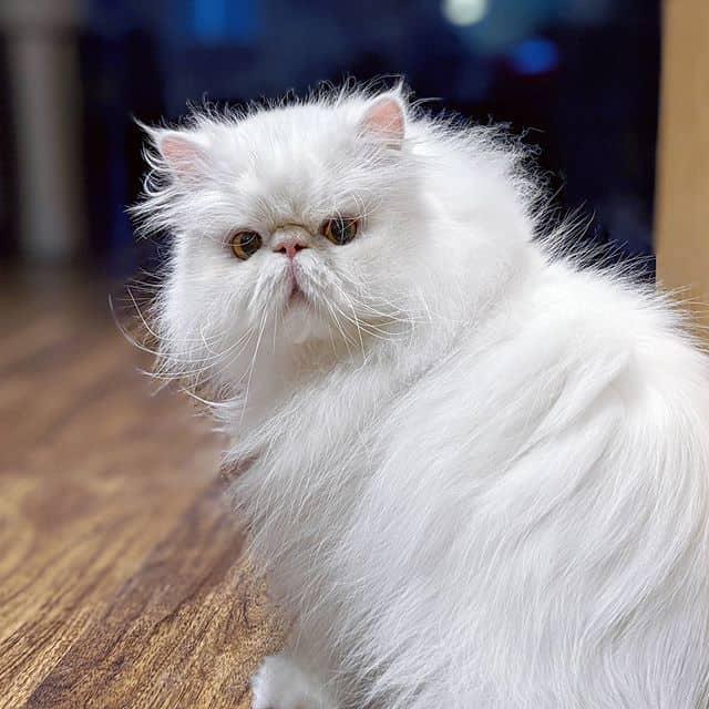 brimley cat