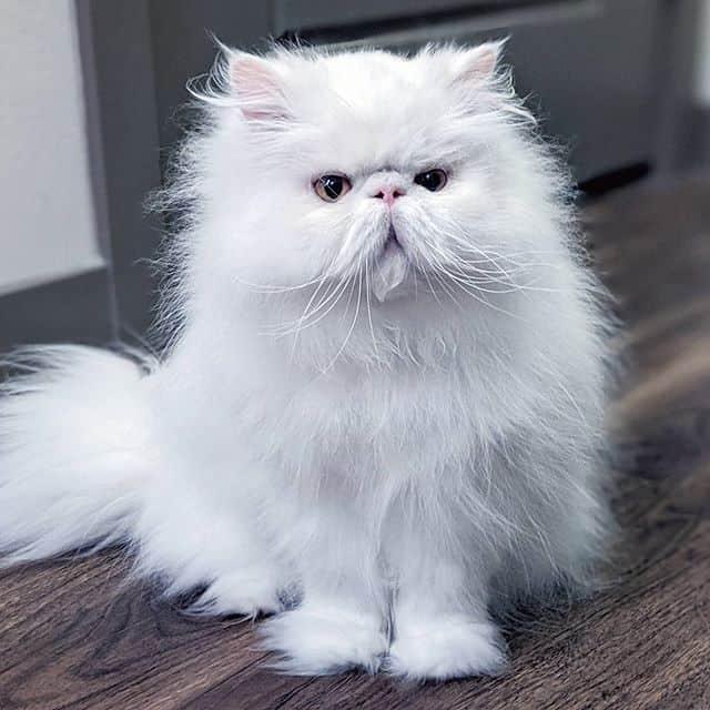brimley gato persa