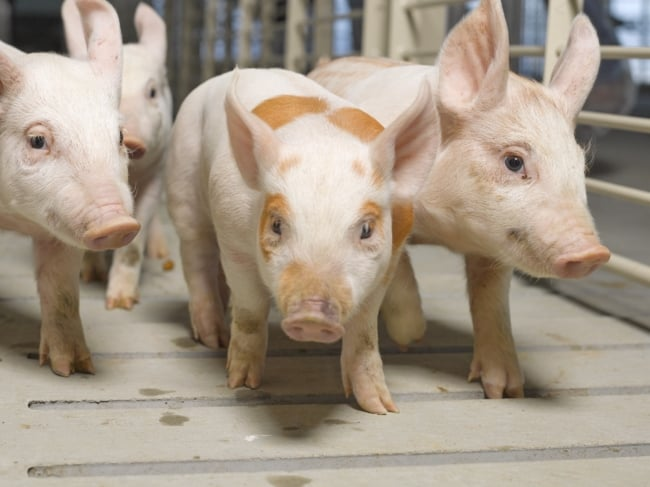 dicas de ração para porcos