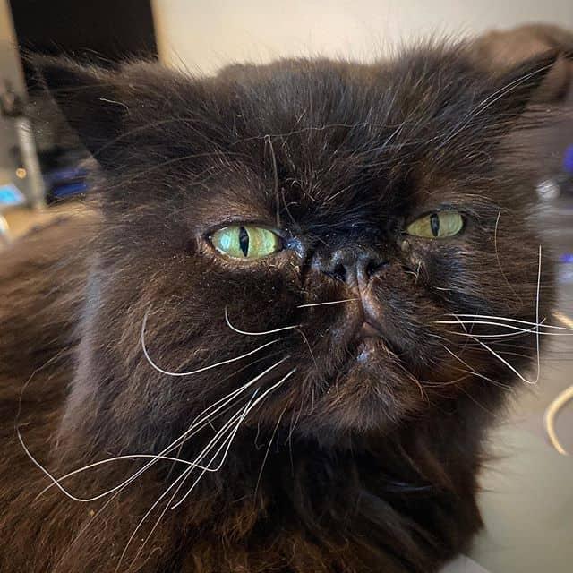 fotos de gato persa 1