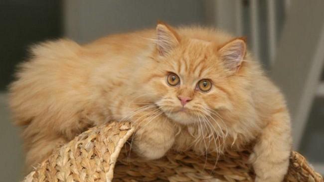 fotos de gato persa 2