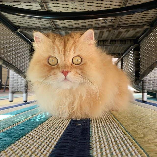 gato Luigi persa