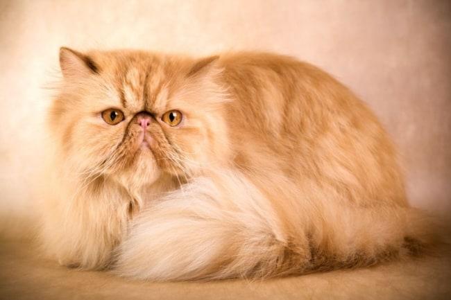 gato laranja persa