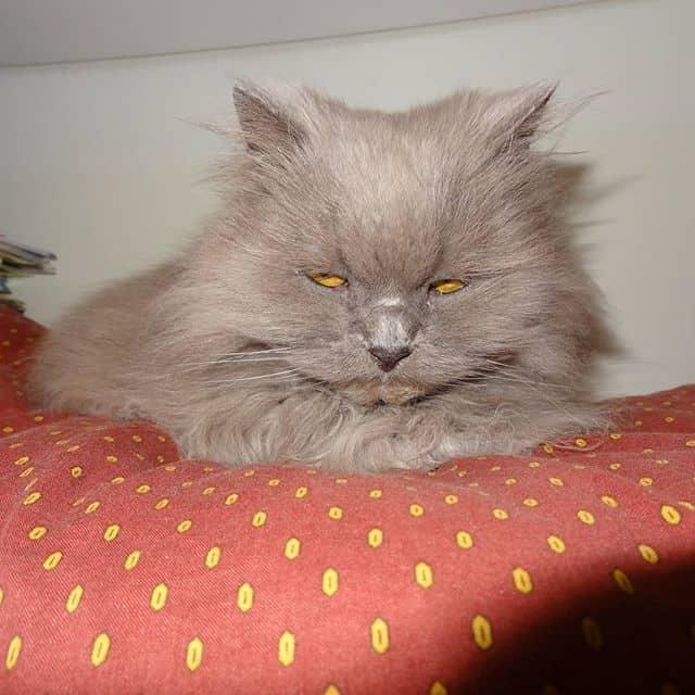 gato persa acinzentado