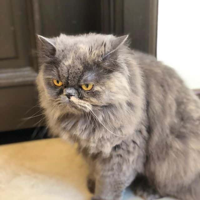 gato persa adulto 1