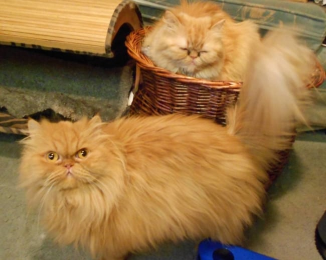 gato persa amarelado