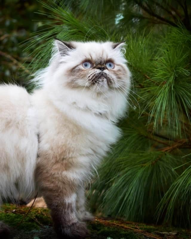 gato persa branco 1