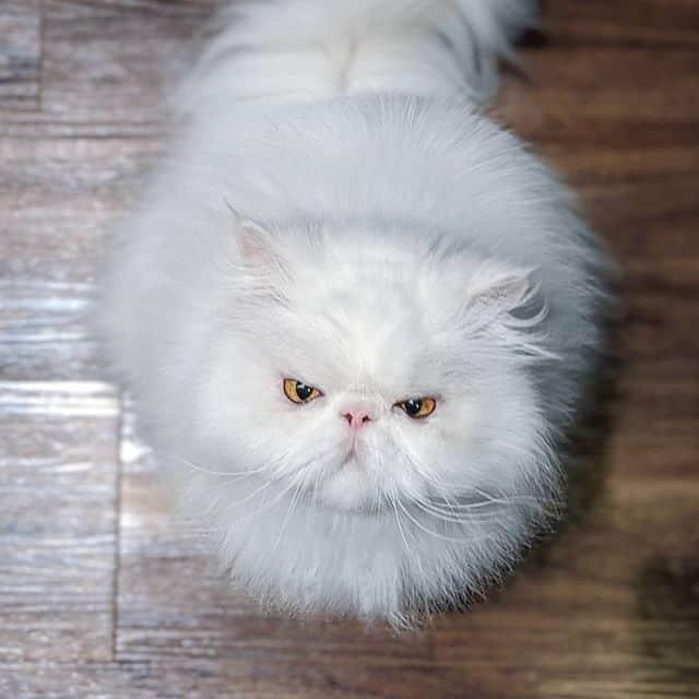 gato persa branco brimley