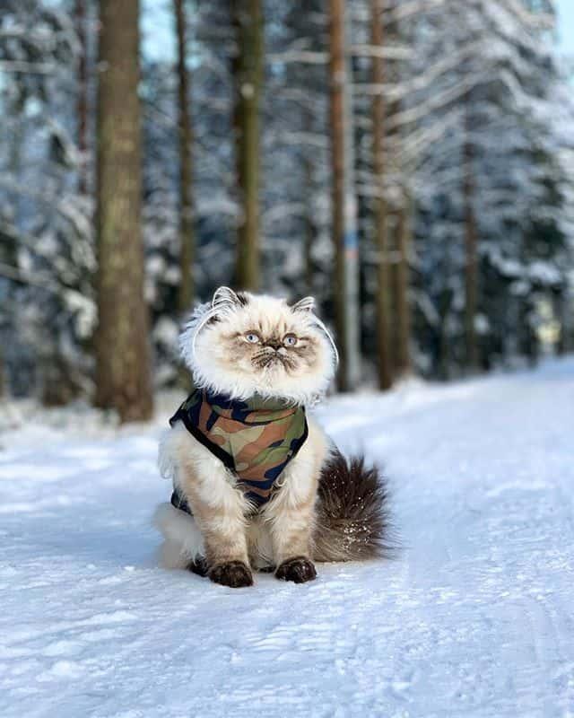gato persa branco lindo