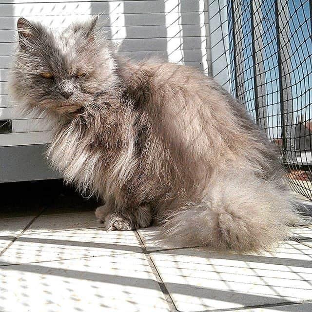 gato persa cinza grande