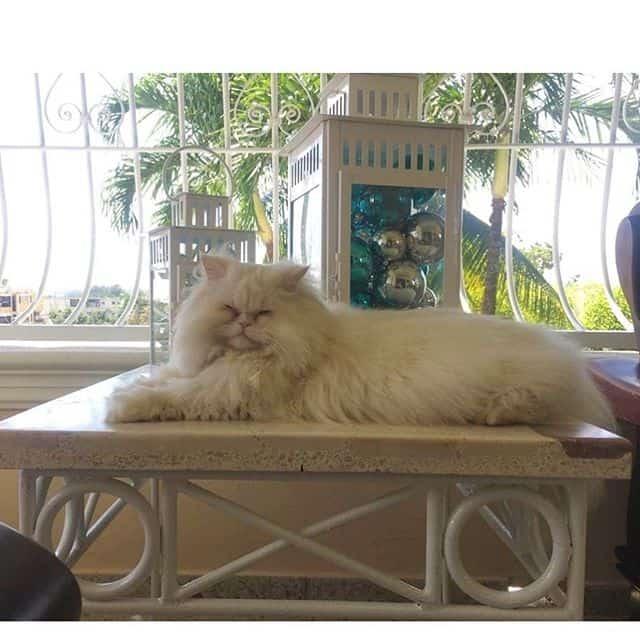 gato persa gordo