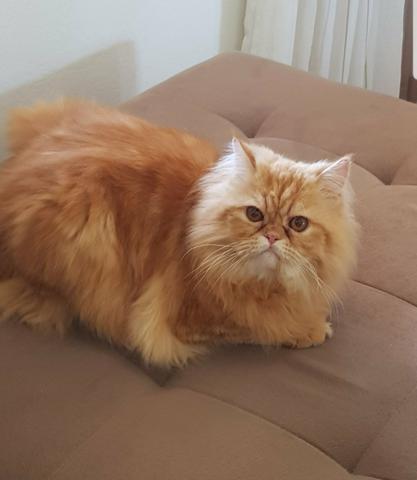 gato persa laranja