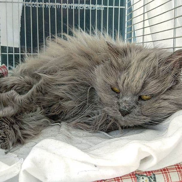 gato persa peludo