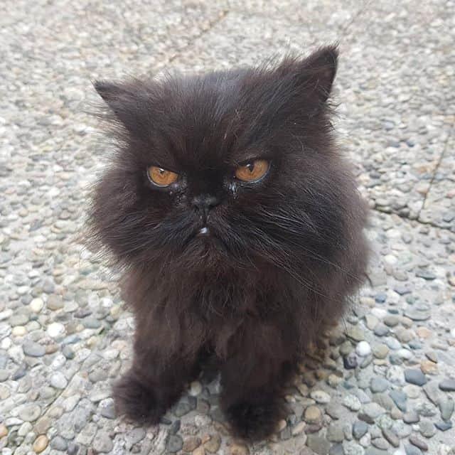 gato persa pequeno