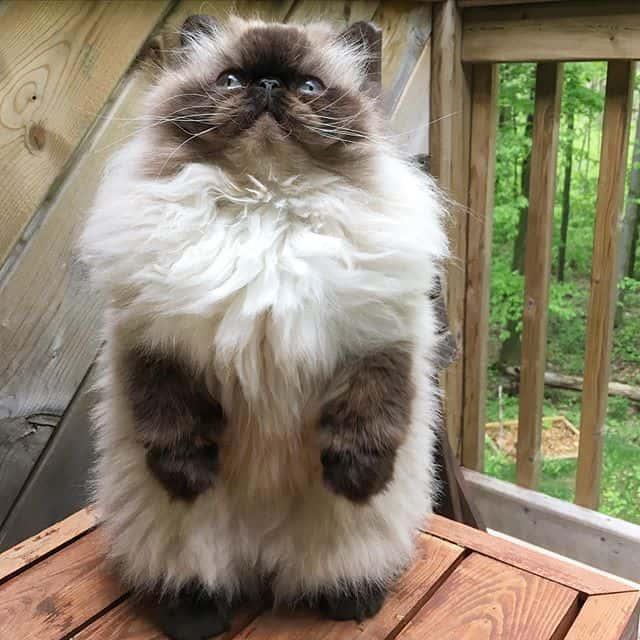 gato persa piggy