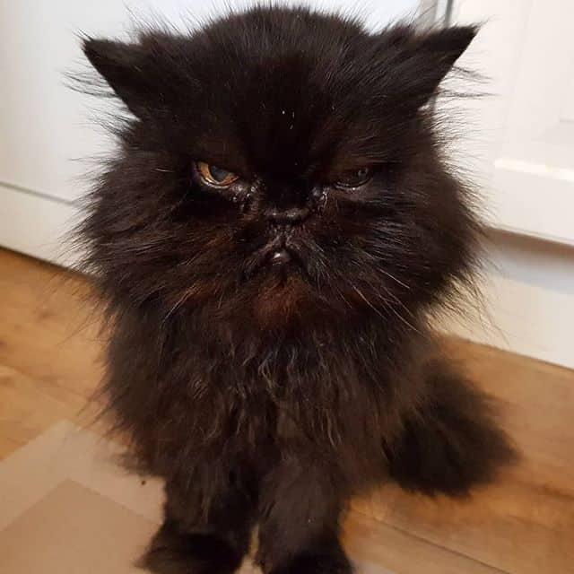 gato persa preto adulto